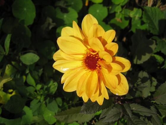 Dahlia Ännu en vacker Dahlia i solskenet.&nbsp 2012-09-29 IMG_0020 Granudden Färjestaden Öland