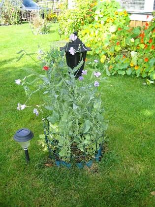 Luktärt Jag satte lite frön till Luktärt runt mina kameror.&nbsp 2012-09-29 IMG_0026 Granudden Färjestaden Öland