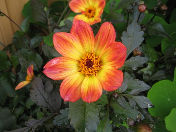 Dahlia { Denna har en väldigt vacker färg. }