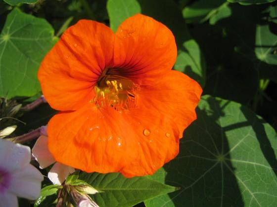 Krasse En regnstänkt Krasse i solskenet.&nbsp 2012-09-29 IMG_0034 Granudden Färjestaden Öland