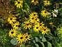 Strålrudbeckia Jag satte mängder av Solhattar, men dena gula variant är den enda som har klarat sig. 2012-09-29 IMG_0003