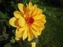 Det är ganska glest mellan Dahliorna men några få vackra blommor har jag. (2012-09-29 IMG_0014)