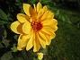Den här blomman blir väldigt fin i solskenet. (2012-09-29 IMG_0015)