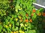 Dessa krasse är faktiskt ditsatta i blomlådor som står ovanpå rabatten. (2012-09-29 IMG_0016)