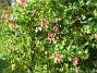 Och jag har fortfarande blommande Kaprifol. (2012-09-29 IMG_0024)