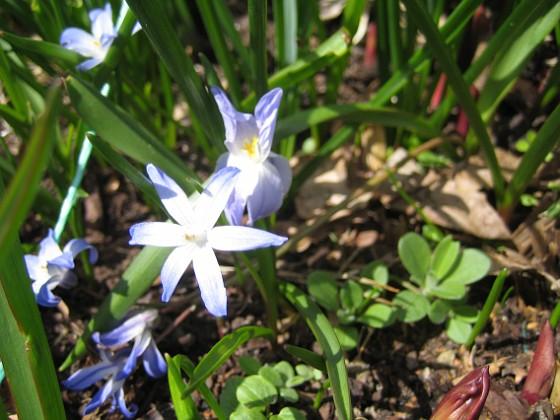 Vårstjärna  2013-04-28 IMG_0013 Granudden Färjestaden Öland