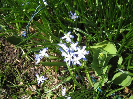 Vårstjärna  2013-04-28 IMG_0017 Granudden Färjestaden Öland