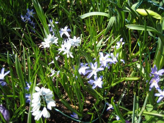 Vårstjärna &nbsp 2013-04-28 IMG_0029 Granudden Färjestaden Öland