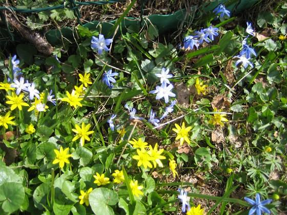 Vårstjärna och Gulsippa  2013-04-28 IMG_0042 Granudden Färjestaden Öland
