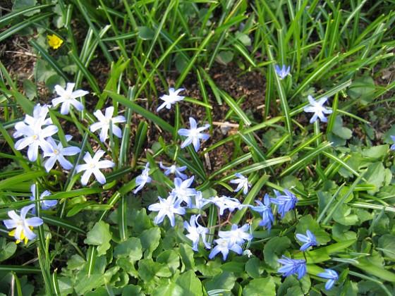 Vårstjärna och Scilla  2013-04-28 IMG_0043 Granudden Färjestaden Öland