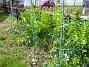 Kejsarkronorna förökar sig och växer sig större för varje år. (2013-04-28 IMG_0004)