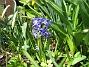 Hyacint I år har jag bara ett fåtal Hyacinter 2013-04-28 IMG_0008