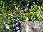 Vårstjärna och Gulsippa  2013-04-28 IMG_0041