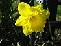 Påsklilja  2013-04-30 IMG_0002