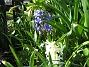 Hyacinter  2013-04-30 IMG_0008