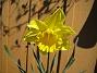 Påsklilja  2013-05-03 IMG_0007