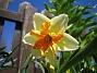 Påsklilja  2013-05-03 IMG_0017