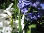 Hyacinter  2013-05-03 IMG_0022