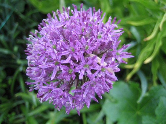 Allium 'Purple Sensation'  2013-05-26 IMG_0007 Granudden Färjestaden Öland