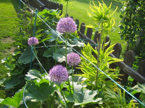 Allium Purple Sensation &nbsp 2013-06-02 IMG_0005 Granudden Färjestaden Öland