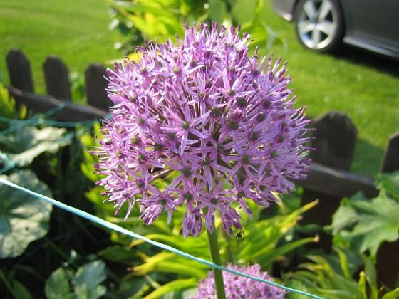 Allium Purple Sensation {  }
