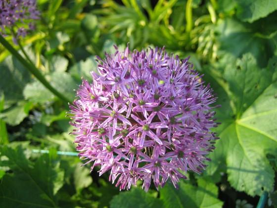 Allium Purple Sensation  2013-06-02 IMG_0007 Granudden Färjestaden Öland