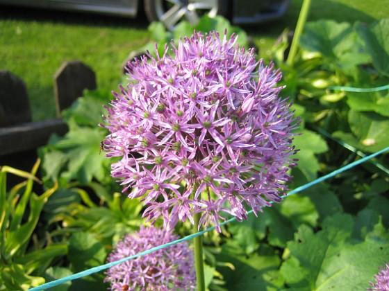 Allium Purple Sensation &nbsp 2013-06-02 IMG_0008 Granudden Färjestaden Öland