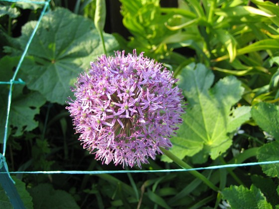 Allium Purple Sensation &nbsp 2013-06-02 IMG_0009 Granudden Färjestaden Öland
