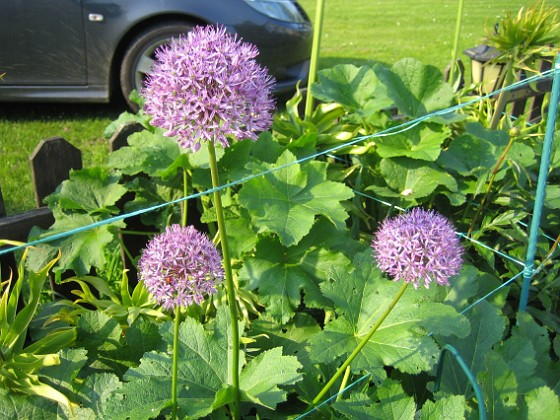 Allium Purple Sensation &nbsp 2013-06-02 IMG_0010 Granudden Färjestaden Öland