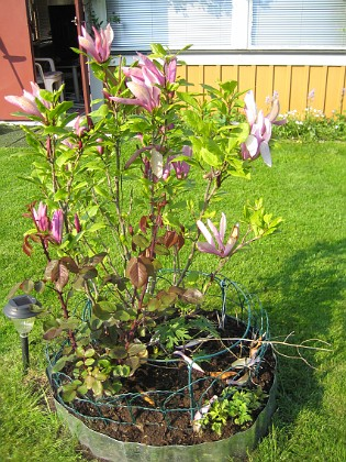 Magnolia &nbsp 2013-06-02 IMG_0035 Granudden Färjestaden Öland