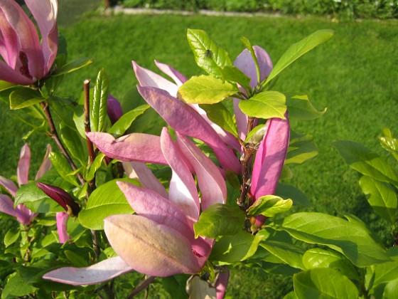 Magnolia &nbsp 2013-06-02 IMG_0037 Granudden Färjestaden Öland