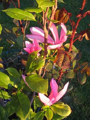 Magnolia  2013-06-06 IMG_0003 Granudden Färjestaden Öland