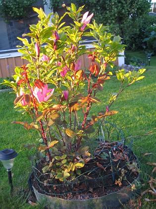 Magnolia  2013-06-06 IMG_0005 Granudden Färjestaden Öland