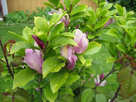 Magnolia &nbsp 2013-06-11 IMG_0067 Granudden Färjestaden Öland
