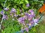 Akleja  2013-06-11 IMG_0027