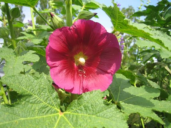 Stockros { Alcea Rosea Ficifolia }