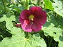 Stockros Alcea Rosea Ficifolia 2013-07-09 IMG_0001