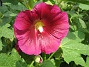 Stockros Alcea Rosea Ficifolia 2013-07-09 IMG_0067