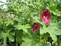 Stockros Alcea Rosea Ficifolia 2013-07-09 IMG_0070