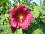 Stockros Alcea Rosea Ficifolia 2013-07-09 IMG_0076