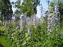 Riddarsporre Delphinium 2013-07-09 IMG_0096