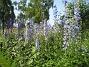 Riddarsporre Delphinium 2013-07-09 IMG_0097