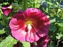 Stockros Alcea Rosea Ficifolia 2013-07-12 IMG_0008