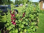Stockros Alcea Rosea Ficifolia 2013-07-12 IMG_0077
