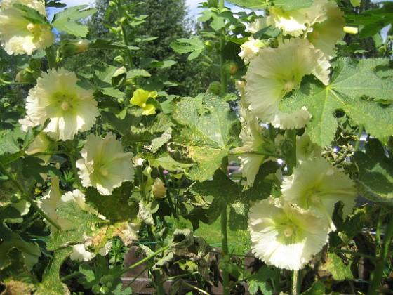 Stockros { Aclea Rosea Ficifolia }