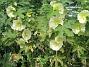 Stockros Alcea Rosea Ficifolia 2013-07-16 IMG_0021