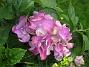 Hortensia  2013-07-20 IMG_0094