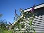 Fjärilsbuske  2013-08-02 IMG_0040