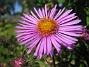 Aster  2013-08-27 IMG_0012