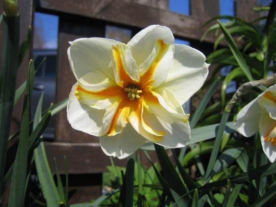 Narciss { Dessa Narcisser är verkligen vackra. }